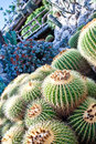 Golden Barrel Cactus Stock Photo