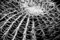 Golden Barrel Cactus in black and white Royalty Free Stock Photos
