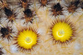 Golden Barrel Cactus Blossoms Stock Images