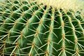 Golden Barrel Cactus, close-up Royalty Free Stock Photos