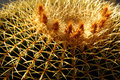Golden Barrel Cactus with Flowers Stock Photos