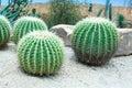 Golden barrel cactus garden stock photos Royalty Free Stock Photography