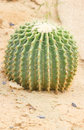 Golden barrel cactus scientific name echinocactus grusonii hildmann Stock Photo