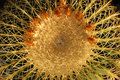 Golden Barrel Cactus Top Royalty Free Stock Photo