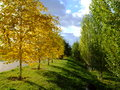 Golden birches and green poplars with blue sky dramatic shadows Royalty Free Stock Photo