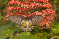 Golden birdwing butterfly with flower Royalty Free Stock Image