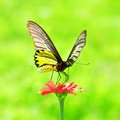 Golden Birdwing Butterfly insect sucking colorful Stock Image