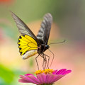Golden Birdwing Butterfly sucking Zinnia nectar Royalty Free Stock Images