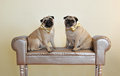 Golden bows two twin dogs pugs with sitting on a sofa Stock Photography