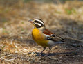 Golden breasted Bunting Stock Image