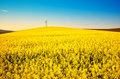 Golden canola field landscape Royalty Free Stock Photo
