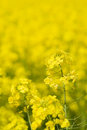 Golden canola (rape) Royalty Free Stock Photo