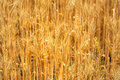 Golden cereal field Royalty Free Stock Photography