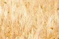 Golden cereal field closeup Royalty Free Stock Photo