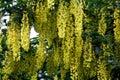 Golden chain tree Royalty Free Stock Photo