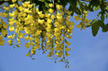 Golden chain tree in flower Stock Image