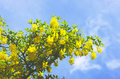 Golden chain tree, laburnum against blue sky  London England Eur Royalty Free Stock Photo