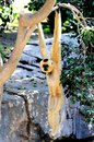 Golden cheek gibbon also known as yellow cheeked nomascus gabriellae hanging from a branch Royalty Free Stock Images