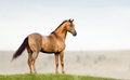 Golden chestnut stallion purebred standing in a field on freedom Royalty Free Stock Image