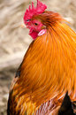 Golden Cockerel Chicken Cock Rooster Head Profile Portrait Verti Royalty Free Stock Photo