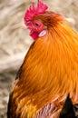 Golden Cockerel Chicken Cock Rooster Head Profile Portrait Verti Royalty Free Stock Photo