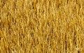 Golden colorful wheat plant background from Italy Royalty Free Stock Photo