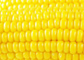 Golden corn background Stock Photography
