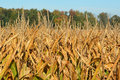 Golden corn cornfield ready for harvest Royalty Free Stock Image