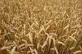 Golden corn field Royalty Free Stock Photo