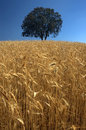 Golden crop a growing wheat field with a tree on background Stock Photos