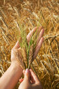 Golden crops in woman hands Royalty Free Stock Photos