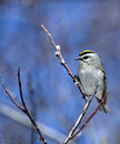Golden-crowned Kinglet Stock Photo