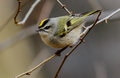 Golden crowned Kinglet Royalty Free Stock Photo
