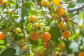 Golden currants Royalty Free Stock Photo