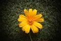 Golden daisy bush Royalty Free Stock Photo