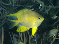 Golden damselfish in bohol sea phlippines islands Stock Images