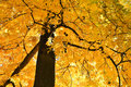 Golden deciduous tree leaves in colors of autumn Stock Photography