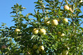 Golden delicious apple tree apples hanging in a Royalty Free Stock Image