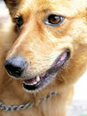 Golden dog Stock Photos