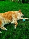 Golden dog sleeping
