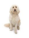 Golden Doodle Dog Sitting on White Bacground Royalty Free Stock Photo