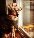 Golden Doodle Dog Staring out the Window Royalty Free Stock Photo