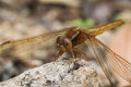Golden dragon fly a close up of a dragonfly Royalty Free Stock Photos