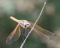 Golden dragonfly III Royalty Free Stock Photo
