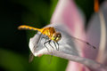 Golden dragonfly libellula needhami rests on lily tight depth of field Stock Photos