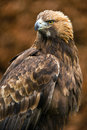 Golden eagle against a background of blurred dark brown leaves Stock Photos