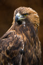 Golden eagle against a background of blurred dark brown leaves Stock Images