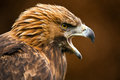 Golden eagle against a background of blurred dark brown leaves Royalty Free Stock Photo
