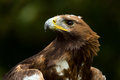 Golden eagle against a background of green foliage Stock Image