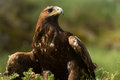 Golden eagle against a background of green foliage Stock Photos